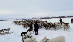 samling med renar